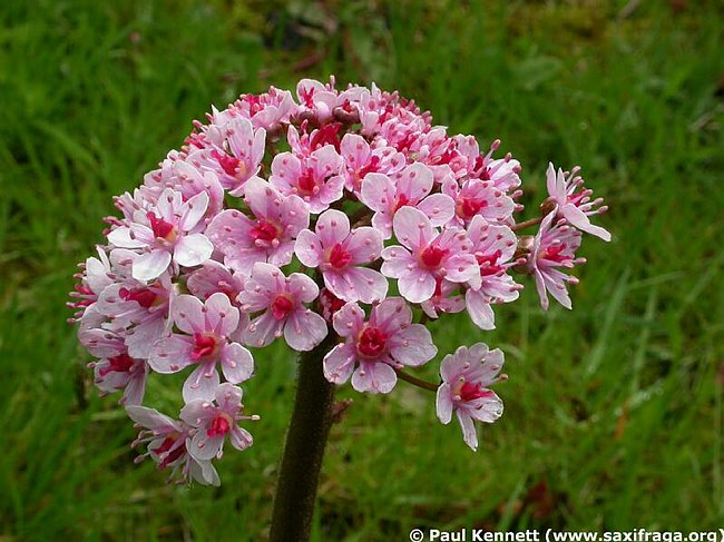 Image of Darmera peltata by Paul Kennett