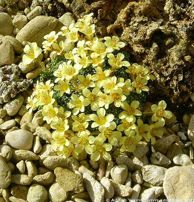 Image of Saxifraga 'Allendale Enchanter' by Adrian Young