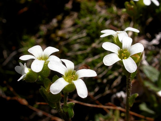 Image of Saxifraga x vierhapperi by Paul Kennett