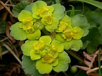 Image of Chrysosplenium alternifolium by Paul Kennett : - click to view the full size picture