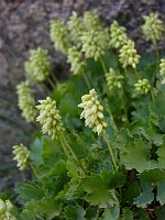 Image of Heuchera bracteata by Malcolm McGregor : - click to view the full size picture