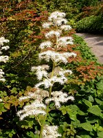 Image of Rodgersia podophylla by Paul Kennett : - click to view the full size picture