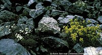 Image of Saxifraga caesia by Kees Jan van Zwienen : - click to view the full size picture