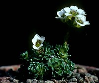 Image of Saxifraga andersonii by Tim Roberts : - click to view the full size picture
