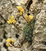 Image of Saxifraga aretioides by Arie Dekker : - click to view the full size picture