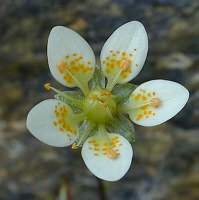 Image of Saxifraga aspera by Tony Goode : - click to view the full size picture