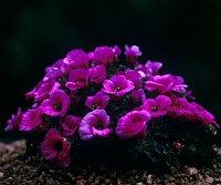 Image of Saxifraga [Beat Group] 'Beatles' by Tim Roberts : - click to view the full size picture