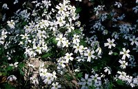 Image of Saxifraga berica by Paul Kennett : - click to view the full size picture