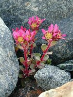Image of Saxifraga biflora by Tony Goode : - click to view the full size picture