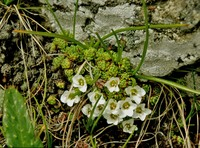Image of Saxifraga brevicaulis by Dieter Zschummel : - click to view the full size picture