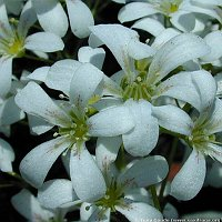 Image of Saxifraga callosa var. callosa by Tony Goode : - click to view the full size picture