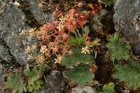 Image of Saxifraga candelabrum by Dieter Zschummel : - click to view the full size picture