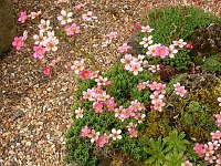 Image of Saxifraga paniculata ssp. cartilaginea by Paul Kennett : - click to view the full size picture