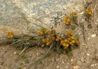 Image of Saxifraga consanguinea by Dieter Zschummel : - click to view the full size picture