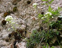 Image of Saxifraga crustata by Paul Kennett : - click to view the full size picture