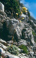 Image of Saxifraga crustata by Marijn van den Brink : - click to view the full size picture