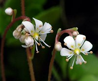 Image of Saxifraga cuneifolia ssp. robusta by Dr. Herbert Wagner : - click to view the full size picture