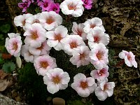 Image of Saxifraga x irvingii 'Dobruška' by Paul Kennett : - click to view the full size picture