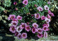 Image of Saxifraga x baccii 'Dora Ross' by Paul Kennett : - click to view the full size picture