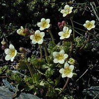 Image of Saxifraga exarata ssp. exarata by Tony Goode : - click to view the full size picture