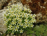 Image of Saxifraga exarata ssp. ampullacea by Dieter Zschummel : - click to view the full size picture