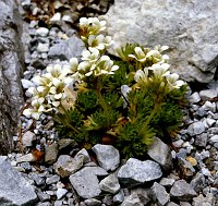 Image of Saxifraga exarata ssp. carniolica by Dr. Herbert Wagner : - click to view the full size picture
