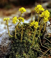 Image of Saxifraga ferdinandi-coburgi by Dr. Herbert Wagner : - click to view the full size picture