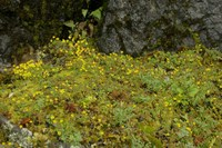 Image of Saxifraga filicaulis by Dieter Zschummel : - click to view the full size picture