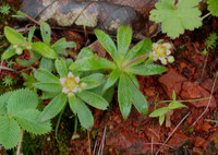 Image of Saxifraga gemmipara by Dieter Zschummel : - click to view the full size picture
