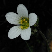 Image of Saxifraga granulata by Tony Goode : - click to view the full size picture