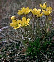 Image of Saxifraga hirculus ssp. hirculus by Dr. Herbert Wagner : - click to view the full size picture