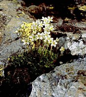 Image of Saxifraga intricata by Dr. Herbert Wagner : - click to view the full size picture