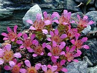 Image of Saxifraga x kochii by Tony Goode : - click to view the full size picture