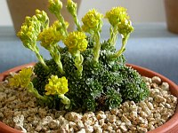 Image of Saxifraga kotschyi by Paul Kennett : - click to view the full size picture