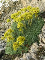 Image of Saxifraga kotschyi by Marijn van den Brink : - click to view the full size picture