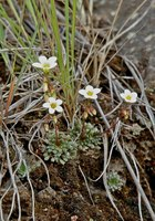 Image of Saxifraga lhasana by Dieter Zschummel : - click to view the full size picture