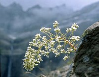 Image of Saxifraga longifolia by Dr. Herbert Wagner : - click to view the full size picture