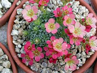 Image of Saxifraga [Decor Group] 'Marc Chagall' by Paul Kennett : - click to view the full size picture