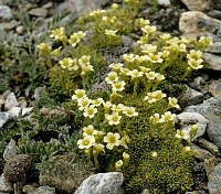 Image of Saxifraga muscoides by Dr. Herbert Wagner : - click to view the full size picture