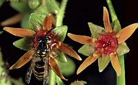 Image of Saxifraga mutata by Dr. Herbert Wagner : - click to view the full size picture