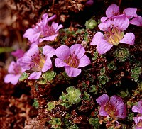 Image of Saxifraga blepharophylla by Dr. Herbert Wagner : - click to view the full size picture