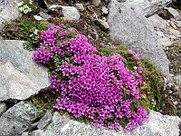 Image of Saxifraga blepharophylla by Paul Kennett : - click to view the full size picture