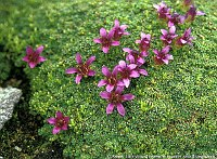 Image of Saxifraga rudolphiana by Kees Jan van Zwienen : - click to view the full size picture