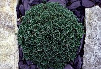 Image of Saxifraga paniculata by Paul Kennett : - click to view the full size picture