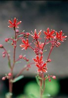 Image of Saxifraga 'Primulaize' by Paul Kennett : - click to view the full size picture