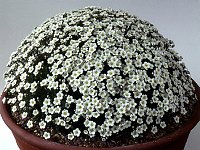 Image of Saxifraga pubescens by Mike Ireland : - click to view the full size picture