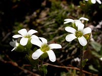 Image of Saxifraga x vierhapperi by Paul Kennett : - click to view the full size picture