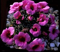 Image of Saxifraga [Beat Group] 'Beatles' by Franz Hadacek : - click to view the full size picture