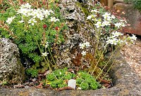 Image of Saxifraga x zimmeteri by Paul Kennett : - click to view the full size picture